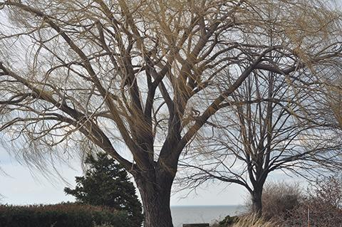 Wind whips through big tree on Lake Erie